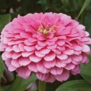 Zinnia - Benary Bright Pink