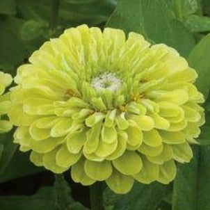 Zinnia - Benary Lime