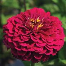 Zinnia - Benary Wine