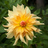 Dahlia Tuber - Big Brother