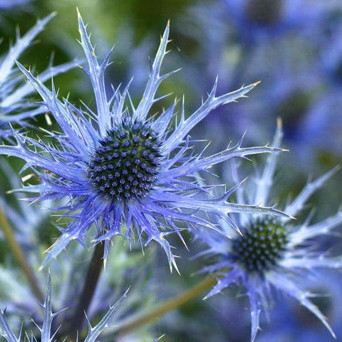 Sea Holly - Blue Star