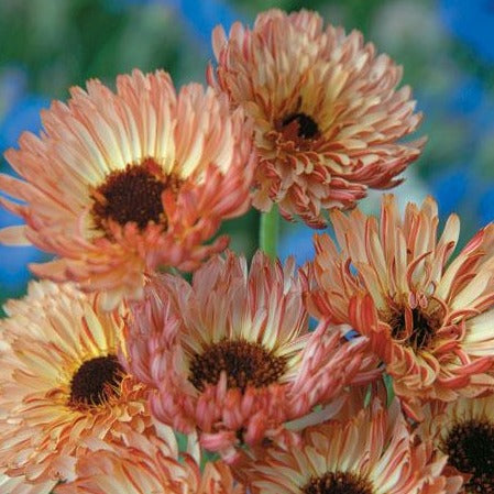 Calendula  - Bronze Beauty