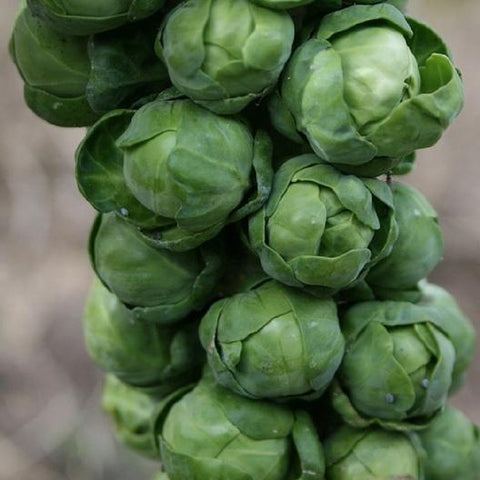 Brussel Sprouts - Long Island Improved
