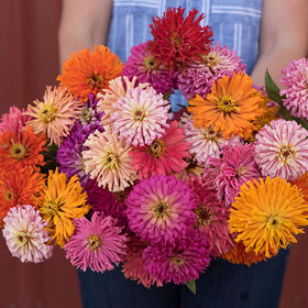 Zinnia Seed - Giant Cactus Flowered Mix