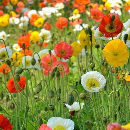 Icelandic Poppy - Champagne Bubbles Mix