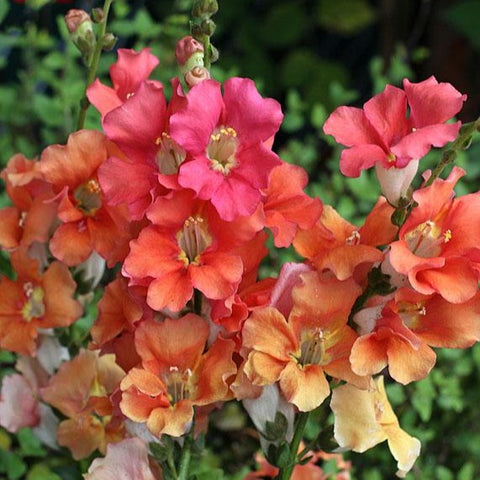 Snapdragon  - Chantilly Bronze