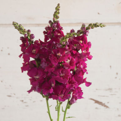 Snapdragon - Chantilly Purple