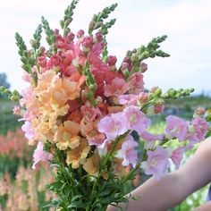 Snapdragon - Chantilly Sunrise Blend