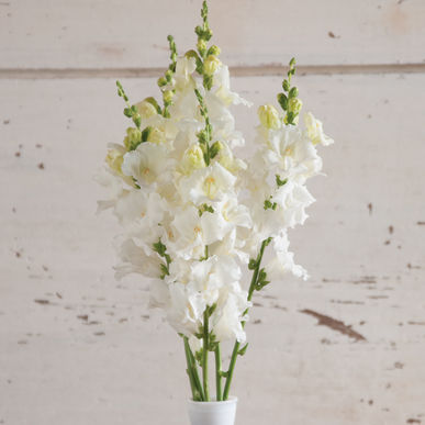 Snapdragon - Chantilly White