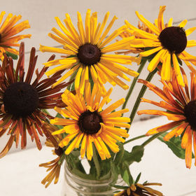 Black Eyed Susan - Chim Chiminee
