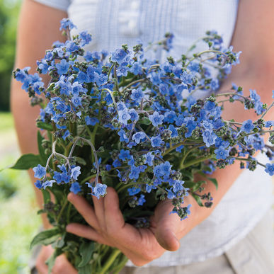 Chinese Forget Me Not - Blue
