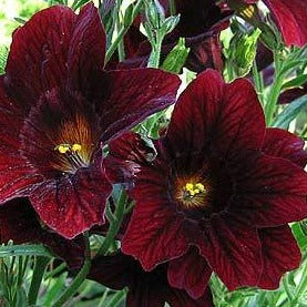Velvet Trumpet Flower - Royale Chocolate