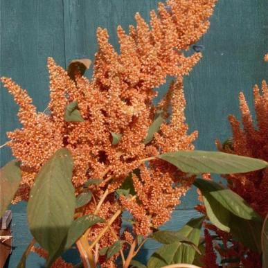 Amaranth - Copperhead