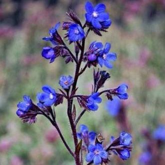 Anchusa - Dropmore