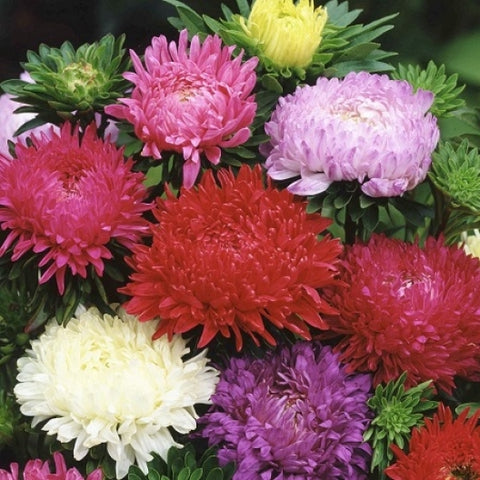 China Aster - Duchesse Formula Mix
