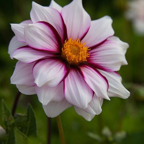 Dahlia Tuber - Edge Of Joy