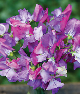 Sweet Pea Seed - Enchante