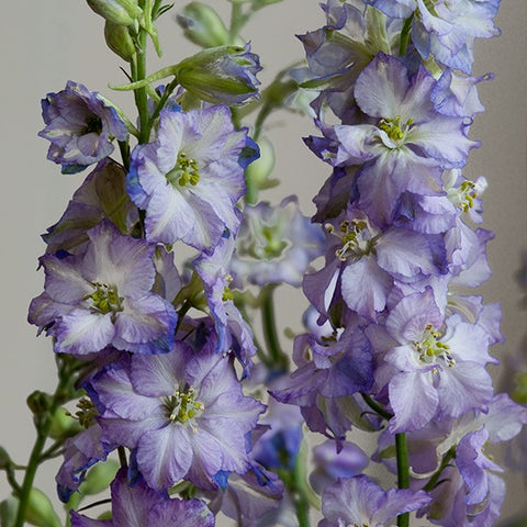 Larkspur - Fancy Purple Picotee