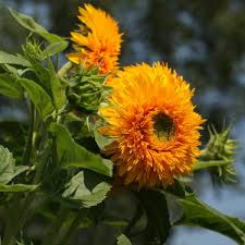 Sunflower - Goldy Double