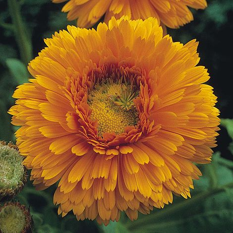 Calendula  - Greenheart Orange