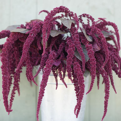 Amaranth - Hopi Red Dye