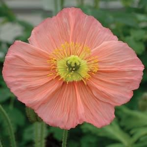 Icelandic Poppy - Champagne Bubbles Pink