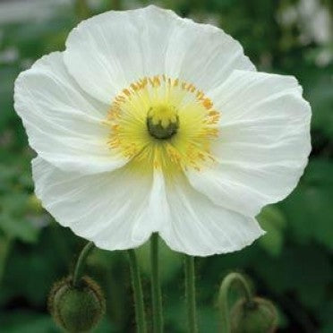 Icelandic Poppy - Champagne Bubbles White