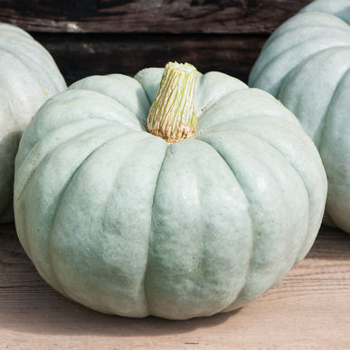 Decorative Pumpkin & Squash - Jarrahdale Large