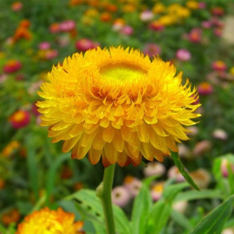 Strawflower - Golden