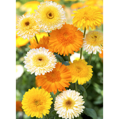 Calendula - Kinglet Mix