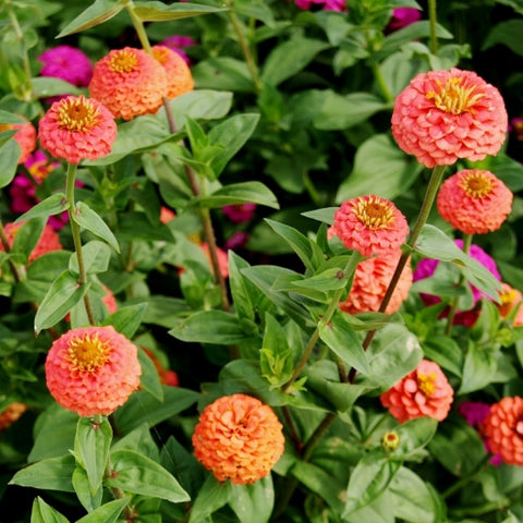 Zinnia - Lilliput Salmon