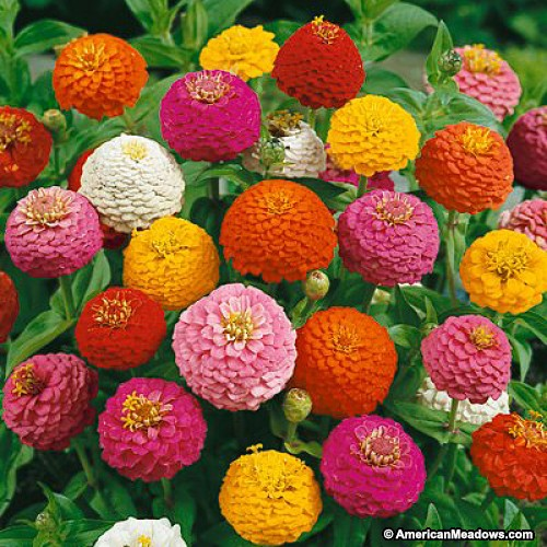 Zinnia Seed - Lilliput Mix