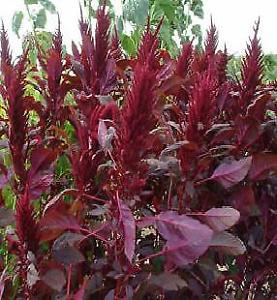 Amaranth Seed - Lotus Red