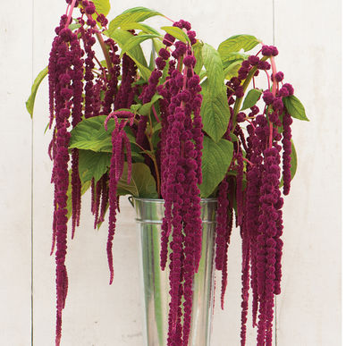 Amaranth - Loves Lies Bleeding