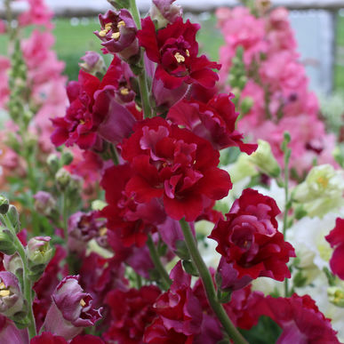 Snapdragon - Madame Butterfly Red
