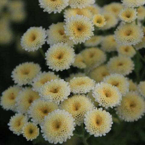 Feverfew - Magic Lime Green