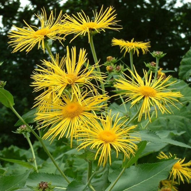 Inula Seed - Magnifica