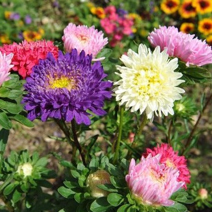 China Aster - Matador Mix