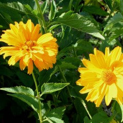 Heliopsis Seed - New Hybrids