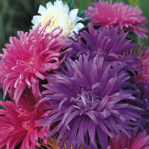 China Aster - Early Ostrich Plume Mix