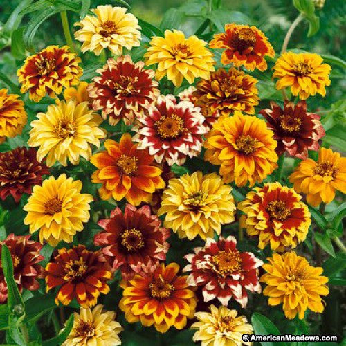 Zinnia Seed - Persian Carpet