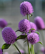 Gomphrena - Ping Pong Lavender