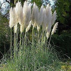 Decorative Grass - Plume Grass