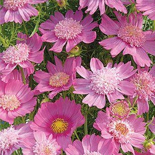 Cosmos Seed - Popsock Pink