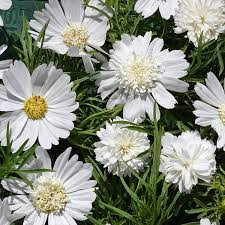 Cosmos Seed - Popsock White