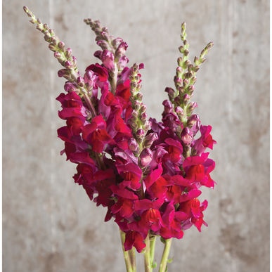 Snapdragon - Potomac Red