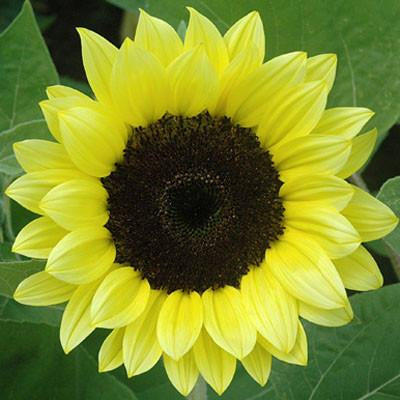Sunflower - Premier Light Yellow