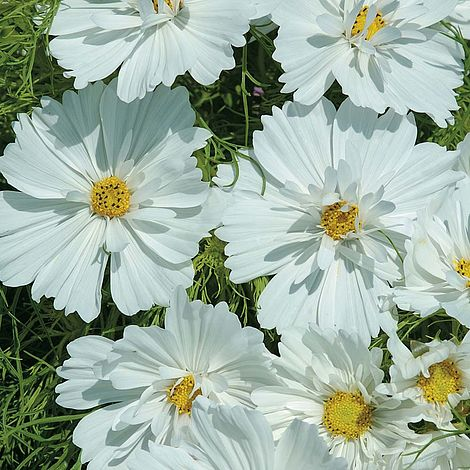Cosmos Seed - Psyche White