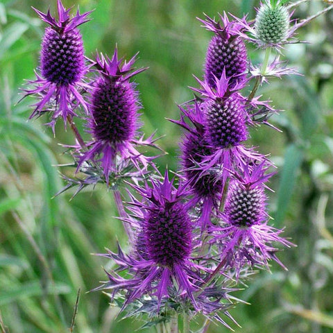 Sea Holly - Purple Sheen