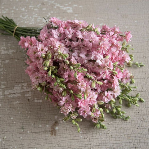 Larkspur - QIS Light Pink